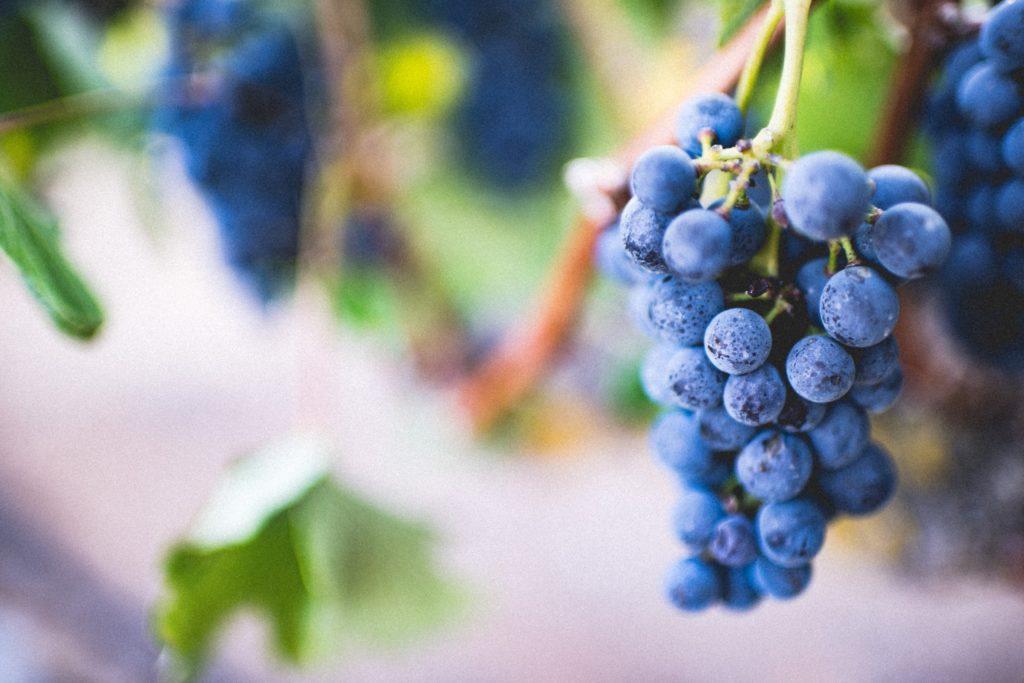 Grozd u vinogradu