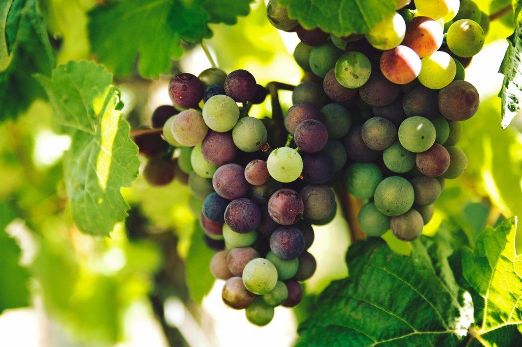 Zrelost grožđa je bitna za proizvodnju belog vina od crnog grožđa