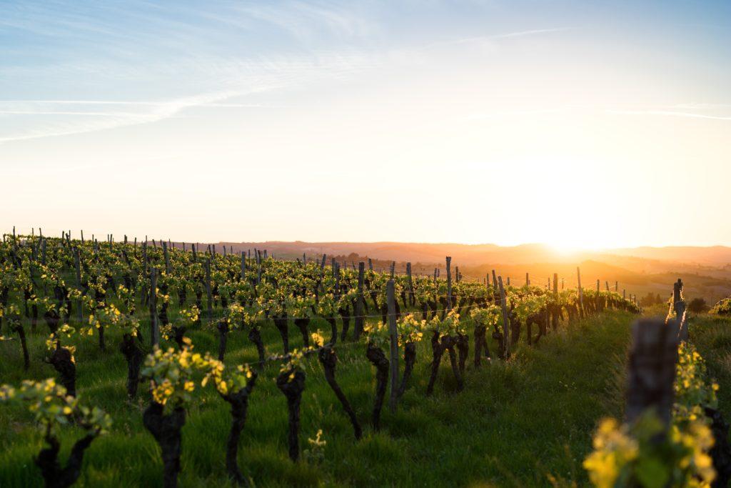 Količina grožđa u vinogradu pravi razliku između skupih i jeftinih vina