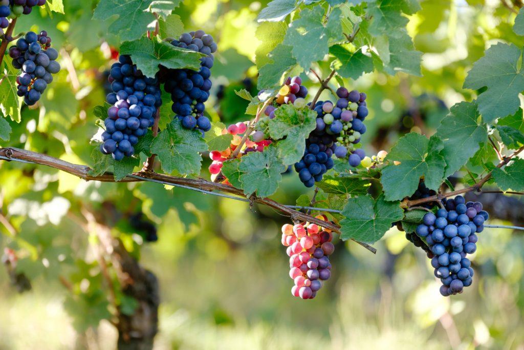 Grožđe pravi razliku između skupih i jeftinih vina