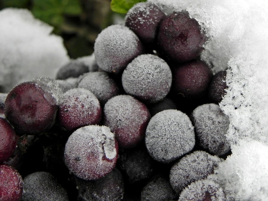 ledeno vino se pravi od zaleđenih bobica