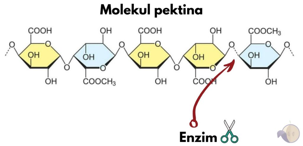 Enzimi u vinu pektinaza