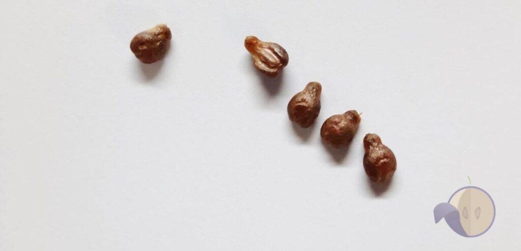 zrela semenka grožđa chardonnay za berbu
