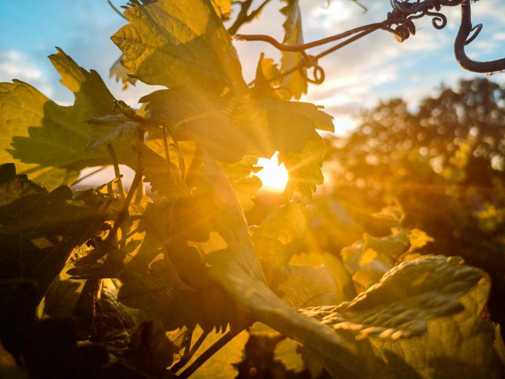 berba grožđa i globalno zagrevanje, sunce u vinogradu fotografija