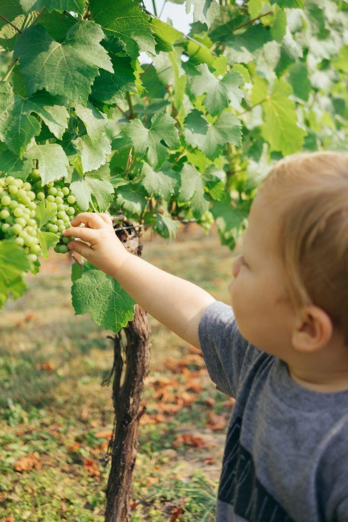 Berba grožđa dete bere belo grožđe