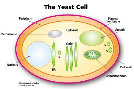ćelija kvasca šematski prikaz na engleskom